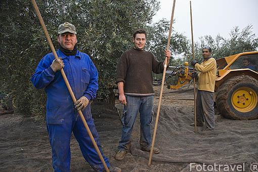 Una cuadrilla de trabajadores dispuestos a barear un olivo. Maquina especial para barear el olivo, proceso intensivo. En los campos de la Almazara Galgon 99 SL. Termino de VILLANUEVA DE LA REINA. Jaen. Andalucia. España