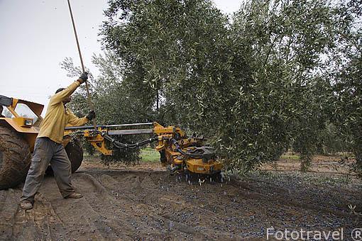 Maquina especial para barear el olivo, proceso intensivo. En los campos de la Almazara de Aceite Oro Bailen. Termino de VILLANUEVA DE LA REINA. Jaen. Andalucia. España