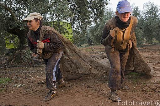 Mujeres colocando las redes rodeando la base del olivo. Campos de la Almazara Galgon 99 SL. Termino de VILLANUEVA DE LA REINA. Jaen. Andalucia. España