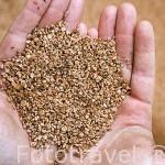 Puñado de nuez triturada de aceituna utilizada como combustible por su alto poder calorifico. ANDUJAR. Jaen. Andalucia. España