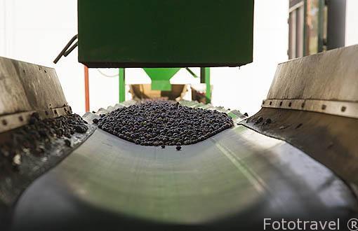 Aceitunas maduras pasando por proceso de limpieza. Almazara de Aceite Oro Bailen. Jaen. Andalucia. España