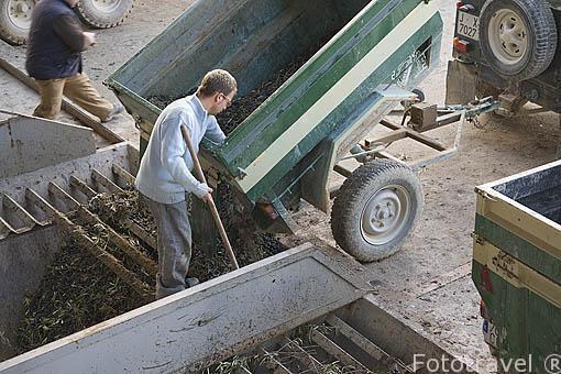 Descargando aceitunas de un remolque pequeño. Almazara de aceite Cooperativa Virgen del Carmen. TORREDONJIMENO. Jaen. Andalucia. España