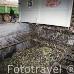 Descargando las aceitunas por propietarios de campos de olivos cercanos. Almazara de aceite Cooperativa Virgen del Carmen. TORREDONJIMENO. Jaen. Andalucia. España