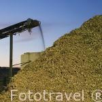 Montaña de hojas, nuez de la aceituna y ramas se amontonan para posterior tratameinto. Almazara de aceite Cooperativa Virgen del Carmen. TORREDONJIMENO. Jaen. Andalucia. España