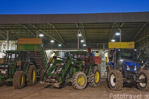 Descargando las aceitunas con sus vehiculos tractores después de un largo día de trabajo. Almazara de aceite Cooperativa Ntra. Sra. del Carmen. TORREDONJIMENO. Jaen. Andalucia. España