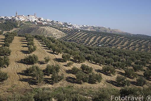 Olivos de la variedad picual bajo la población de ARJONA. Jaen. Andalucia. España