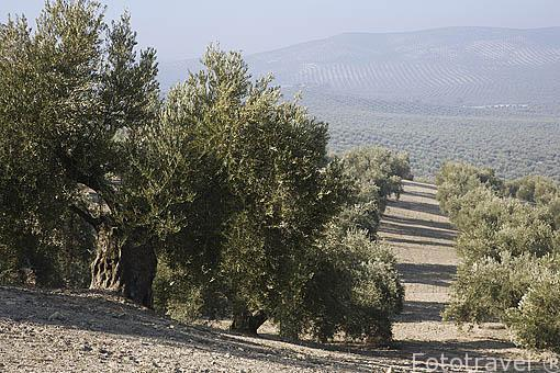 Campo de olivos de la variedad picual bajo la población cerca de ESCAÑUELA. Jaen. Andalucia. España