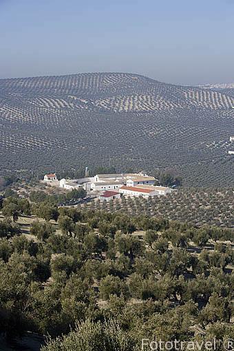 Campo de olivos de la variedad picual. Cortijo y almazara Aceites San Antonio. En ESCAÑUELA. Jaen. Andalucia. España