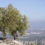 Olivo de la variedad picual. Cerca de ARJONA. Jaen. Andalucia. España