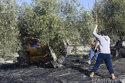 Cuadrilla de trabajadores bareando los olivos de la variedad picual ayudados por un vehiculo buggie. Cerca de ESCAÑUELA. Jaen. Andalucia. España