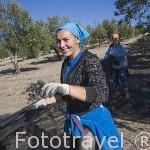 Mujeres en una cuadrilla de trabajadores bareando los olivos de la variedad picual y recogiendo / colocando las redes para recoger el fruto. Cerca de ESCAÑUELA. Jaen. Andalucia. España