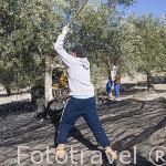Cuadrilla de trabajadores bareando los olivos de la variedad picual. Cerca de ESCAÑUELA. Jaen. Andalucia. España