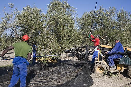 Vehiculo especial para barear los olivos (variedad picual para aceite) y cuadrilla de trabajadores. Cerca de CASTAÑUELA. Jaen. Andalucia. España