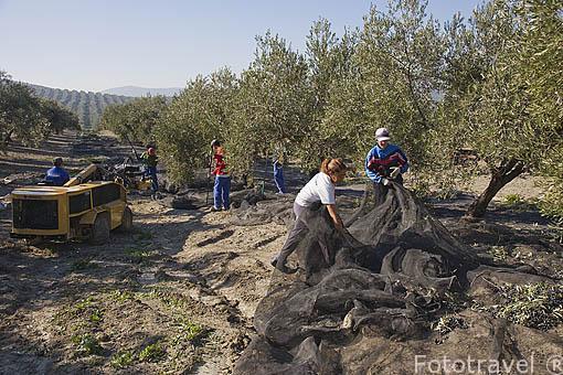 Mujeres en una cuadrilla de trabajadores colocando las redes para la recogida de las aceitunas de la variedad picual. Cerca de ESCAÑUELA. Jaen. Andalucia. España