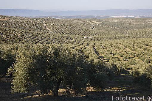 Campos de olivos, variedad picual para aceite, cerca de ARJONA. Jaen. Andalucia. España