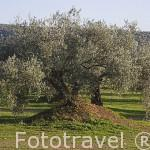 Campo de olivos con tratamiento ecológico. Cerca de ANDUJAR. Jaen. Andalucia. España