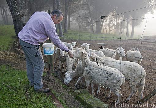 Sr. Roland Wasserman, propietario de la casa rural Villa Matilde con sus ovejas. A 18km, norte de ANDUJAR. Sierra Morena. Jaen. Andalucia. España Mr.092