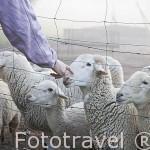Ovejas. Casa rural Villa Matilde con sus ovejas. A 18km, norte de ANDUJAR. Sierra Morena. Jaen. Andalucia. España
