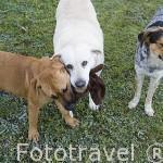 Perros jugando con un peluche. ANDUJAR. Jaen. Andalucia. España