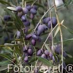 Olivos y aceitunas de la variedad picual para hacer aceite. JAEN. Andalucia. España