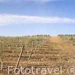 Jovenes olivos de la variedad picual con un solo pie para explotación. Cerca de BAILEN. Jaen. Andalucia. España