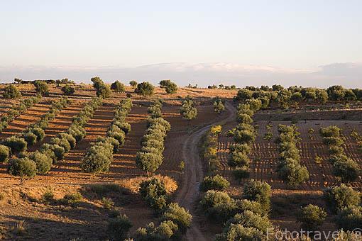 Olivos cerca del pueblo de CAMPO REAL. Situado a aprox 40 kms de la capital, Madrid. Comunidad de Madrid. España