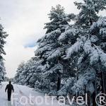 Senderista y bosque de pinos nevados. Parque Natural de Peñalara. Sierra de Guadarrama. Comunidad de Madrid. España
