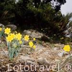 Flores de narciso. Parque Natural de Peñalara. Comunidad de Madrid. España