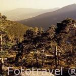 """Vista de los pinares silvestres. """"Pinus sylvestris"""". Sierra de Guadarrama. Comunidad de Madrid. España"""