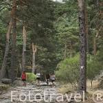 Calzada romana entre pinares y senderistas. Sierra de Guadarrama. Comunidad de Madrid. España
