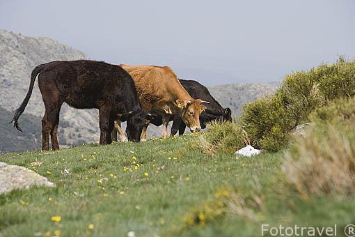 Vacas en lo alto del Puerto de la Morcuera. Sierra de Guadarrama. Comunidad de Madrid. España
