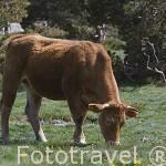 Vaca en lo alto del Puerto de la Morcuera. Sierra de Guadarrama. Comunidad de Madrid. España