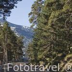 Pinares en la Sierra de Guadarrama y carretera M-604. Comunidad de Madrid. España