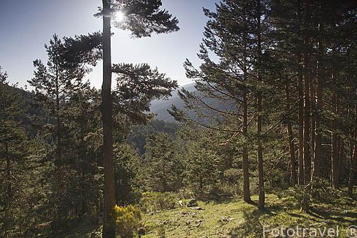 Pinares en la Sierra de Guadarrama. Comunidad de Madrid. España