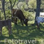 Vacas cerca del Arroyo de la Angustura. Sierra de Guadarrama. Comunidad de Madrid. España