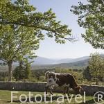 Una vaca y el Valle de El Paular desde el mirador Balcón Monumento al Guardia Forestal. Sierra de Guadarrama. Comunidad de Madrid. España