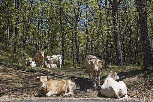Vacas en lo alto del puerto de Navafria. Sierra de Guadarrama. Comunidad de Madrid. España