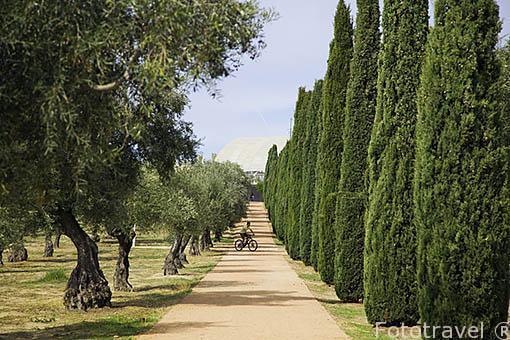 En bicicleta entre pinares, cipreses y olivos. Parque Juan Carlos I. Campo de las Naciones. Madrid. España