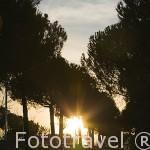 Atardecer entre pinares. Parque Juan Carlos I. Campo de las Naciones. Madrid. España