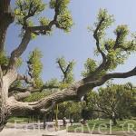 Arboles en el parque de Benicalap. VALENCIA. España