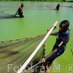 Trabajadores capturando con red gambas (variedad asiatica)en una laguna artifical. Destileria Domaine du Severin. SAINTE ROSE. Basse Terre. Isla de Guadalupe. Caribe. Francia