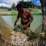 Trabajadores y gambas (variedad asiatica)recien capturadas en una laguna artifical. Destileria Domaine du Severin. SAINTE ROSE. Basse Terre. Isla de Guadalupe. Caribe. Francia