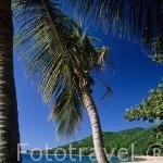 Palmeras en la playa de Grande Anse. DESHAIES. Al norte de Basse Terre. Isla de Guadalupe. Caribe. Francia