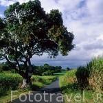 Paisaje de un campo de caña de azucar en GRANDE TERRE. Isla de Guadalupe. Caribe. Francia