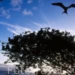 "Manglares y fragatas ""Fregata magnificens"" en la reserva marina del Grand Cul-de-Sac Marin. Cerca de BAIE-MAHAULT. Isla de la Guadalupe. Caribe. Francia"