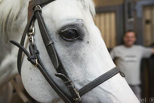 Yegua blanca en la cuadra. Yeguada de Babolna. Aqui se crian los caballos Shagya. Ciudad de BABOLNA. Comarca del Transdanubio. Hungria