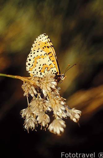 """Nymphalidae. """"Melitaea didyma"""". Sierra de Guadarrama. España"""
