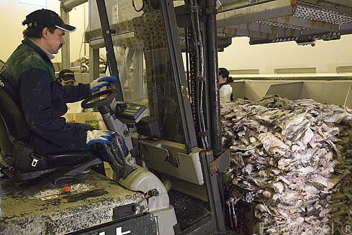 Pilas de bacalao para salar