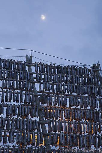 """Piezas de bacalao """"Gadus morhua"""" puesto a secar en un armazon piramidal. Población de SVOLVAER. Isla de Austvagoya. Archipielago de las Lofoten. Circulo Polar Artico. Noruega. / Norway"""