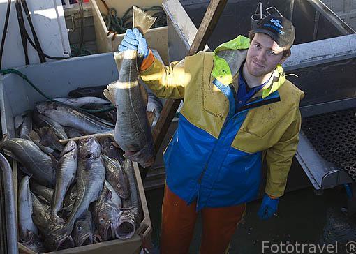 """Un pescador con bacalao """"Gadus morhua"""" recien capturado. Sur de la isla de ROST. Archipielago de las Lofoten. Circulo polar artico. Noruega. Rost Island. Norway"""